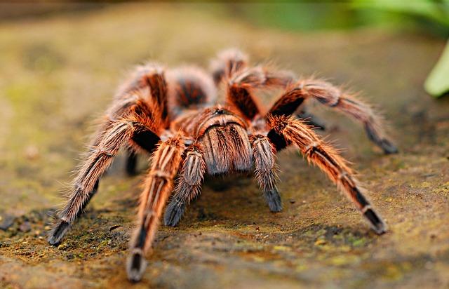 zrzavá tarantule